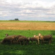brzozki-owce