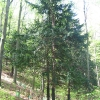 buczek-rezerwat-cisowa-gora-3