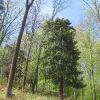 buczek-rezerwat-cisowa-gora-6