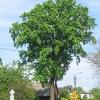goczalkowice-zdroj-wies-drzewo