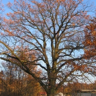 krobielowice-drzewo