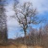 lacza-drzewo