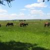 mielecin-konie-1