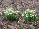 muszkowicki-las-bukowy-sniezyca-wiosenna-3