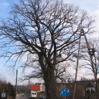 oborniki-slaskie-pomnikowy-dab-ul-poznanska.jpg