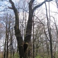 rezerwat-lezczok-dab-sobieskiego-1