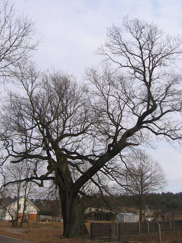 rudziniec-pomnikowy-dab-ul-gliwicka-1