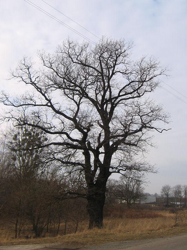 rudziniec-pomnikowy-dab-ul-gliwicka-3