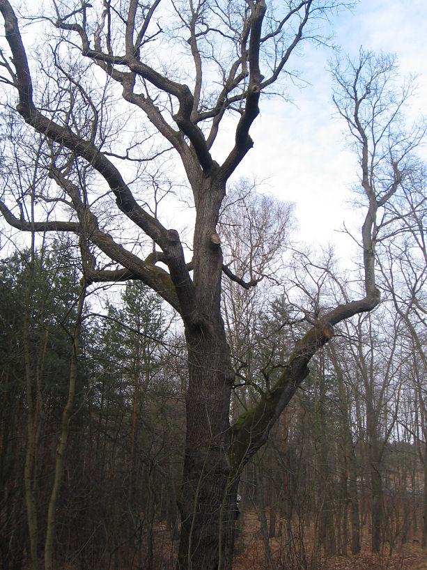 rudziniec-pomnikowy-dab-w-lesie-1