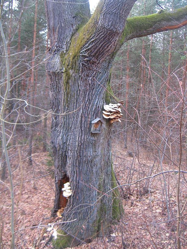 rudziniec-pomnikowy-dab-w-lesie-2