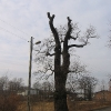 rudziniec-pomnikowy-dab-ul-gliwicka-2