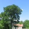 sieniawka-drzewo