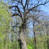 stara-chudoba-drzewo-1