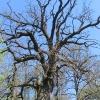 stara-chudoba-drzewo-2