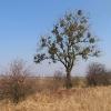 swiete-drzewo-1