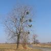 swiete-drzewo-2