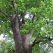 1720-szczawno-zdroj-park-zdrojowy-lipa-3