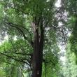 1731-32-szczawno-zdroj-park-zdrojowy-tulipanowce-2