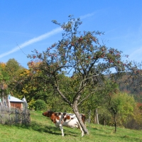 ustron-dobka-widok-krowa-2.jpg