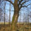 wielowies-cmentarz-zydowski-drzewo