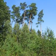 murzanska-linia-las-1