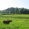 zdanow-widok-krowa