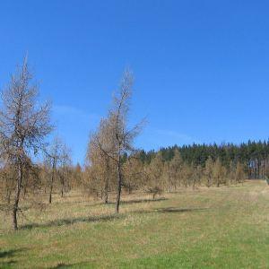 lisia-gora-plantacja-modrzewia