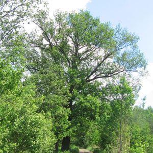 gostyn-drzewo