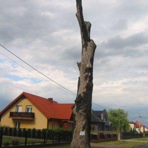 lewkow-drzewo