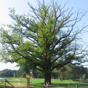 milicz-ostoja-drzewo.jpg
