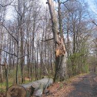rezerwat-lezczok-drzewo-3