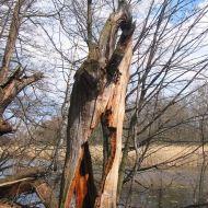 rezerwat-lezczok-drzewo-4