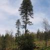 brzeznicka-gora-drzewo