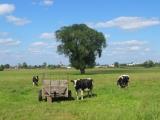 chojecin-wies-krowy