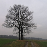 chudow-drzewo
