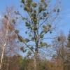 gola-wielka-drzewo