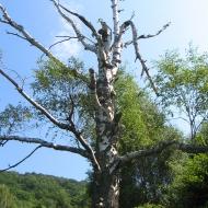 gorna-wetlinka-drzewo.jpg