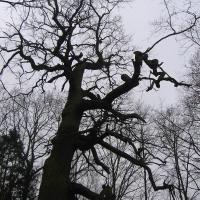 grabownica-drzewo.jpg