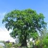 jankowice-drzewo