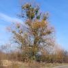 jaskowice-drzewo