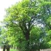 kolonia-podlesie-drzewo