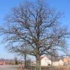 kozlow-drzewo