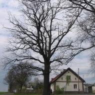 kuchary-drzewo
