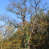 las-orli-drzewo.jpg