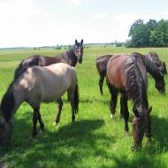mielecin-konie-2
