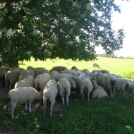 mikolajow-owce