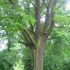mikorzyn-drzewo