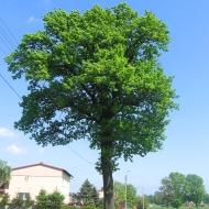 mizerow-drzewo