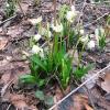 muszkowicki-las-bukowy-sniezyca-wiosenna-1