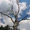 myjomice-drzewo-2